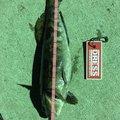 てつこさんの宮城県でのアイナメの釣果写真