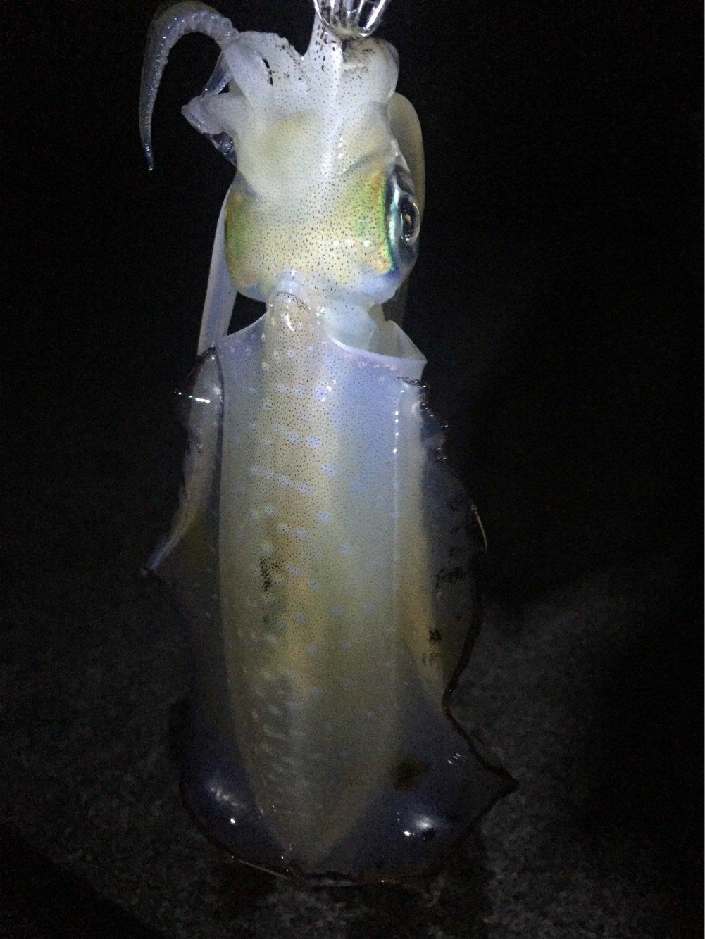 きみかずさんの投稿画像,写っている魚はアオリイカ