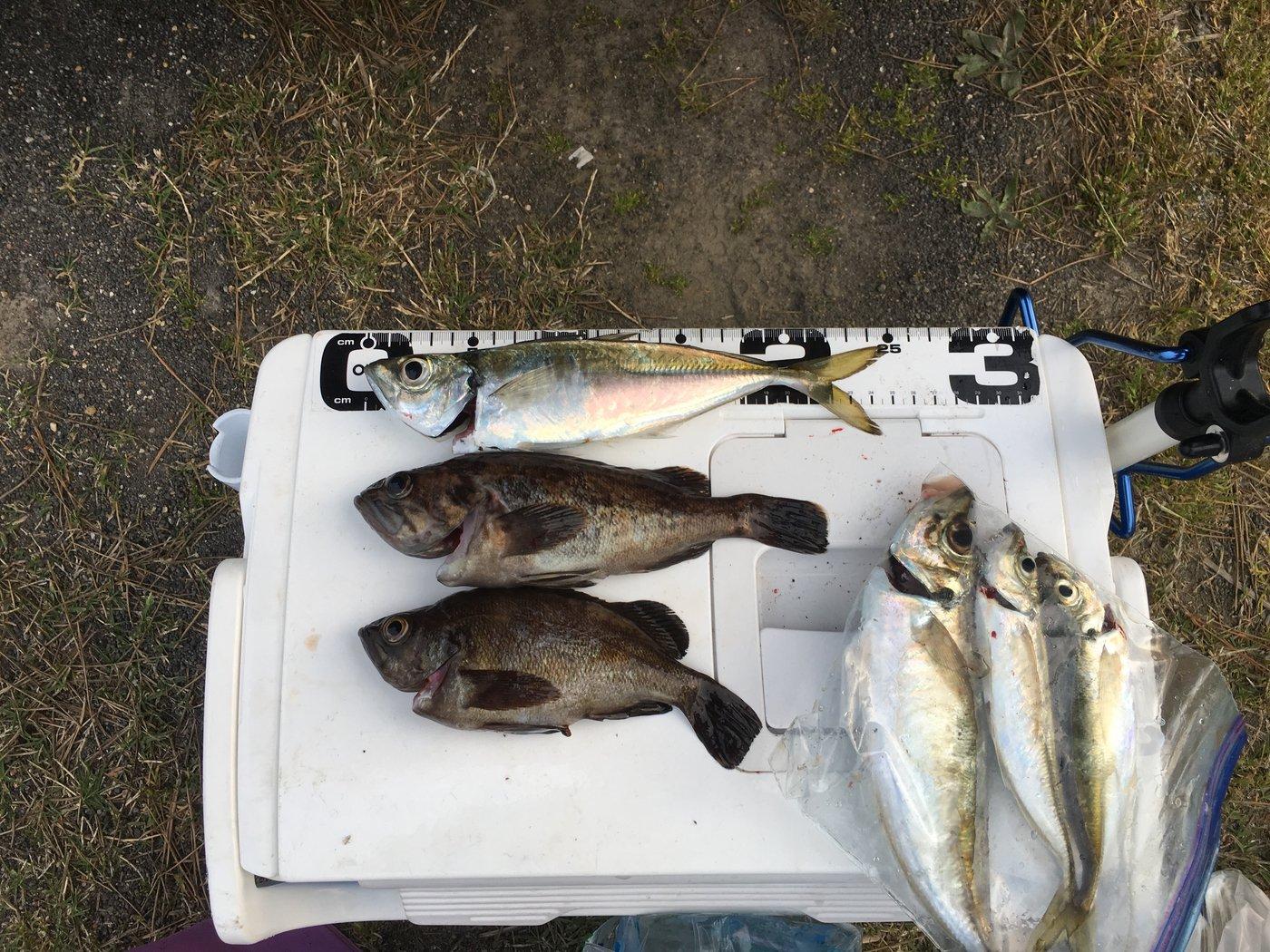 がちゅさんの投稿画像,写っている魚はアジ,ソイ,メバル