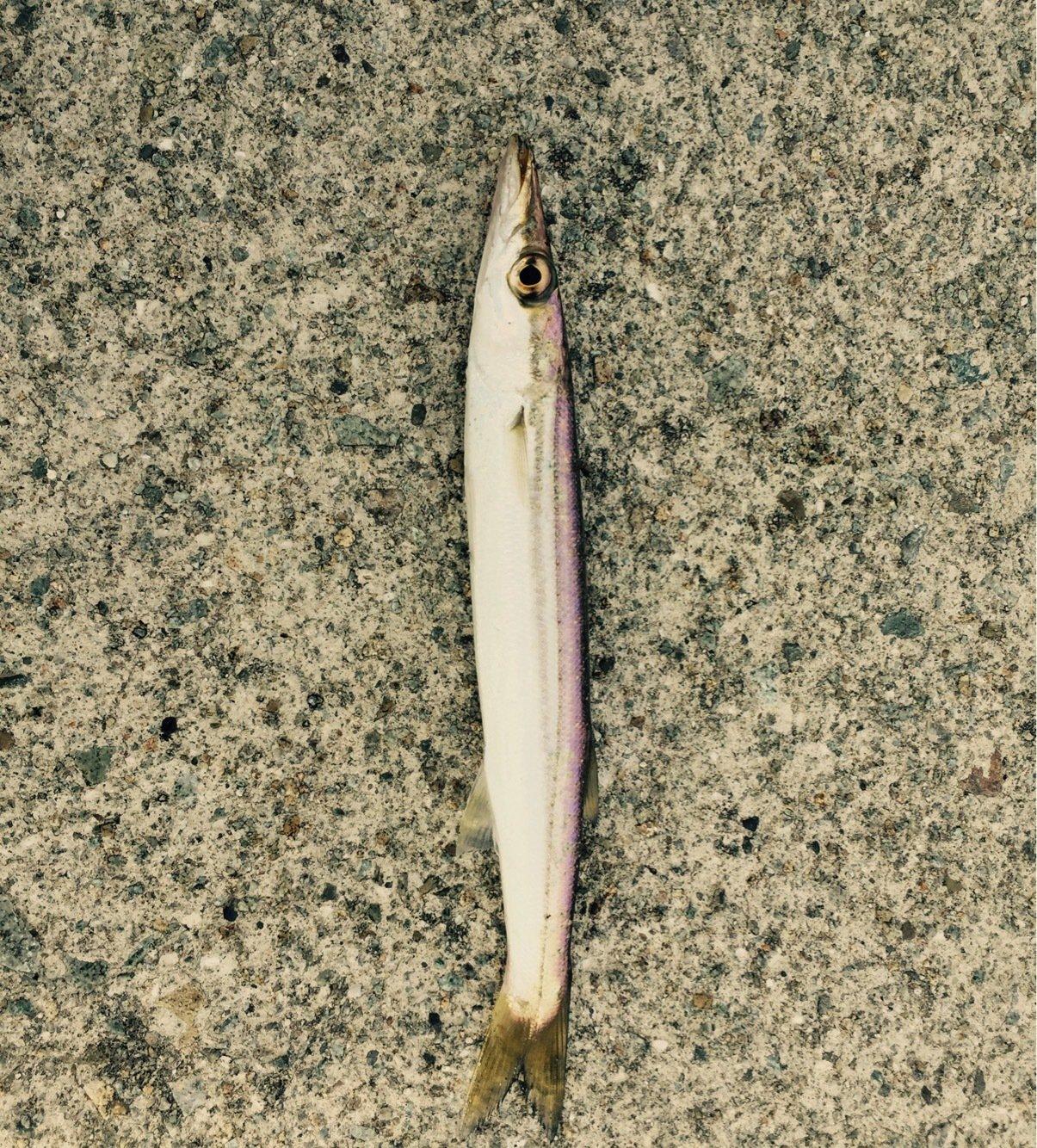 Fkさんの投稿画像,写っている魚はカマス