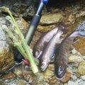 オミさんの岐阜県大野郡での釣果写真