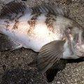 シンデレラさんの富山県射水市でのメバルの釣果写真