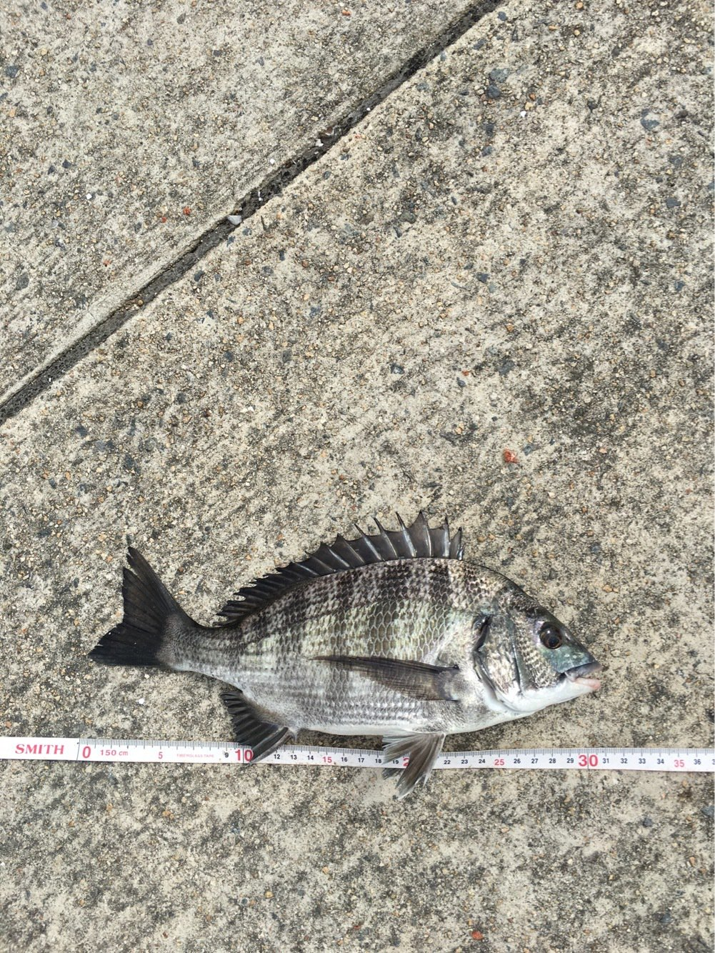 松尾さんの投稿画像,写っている魚はクロダイ