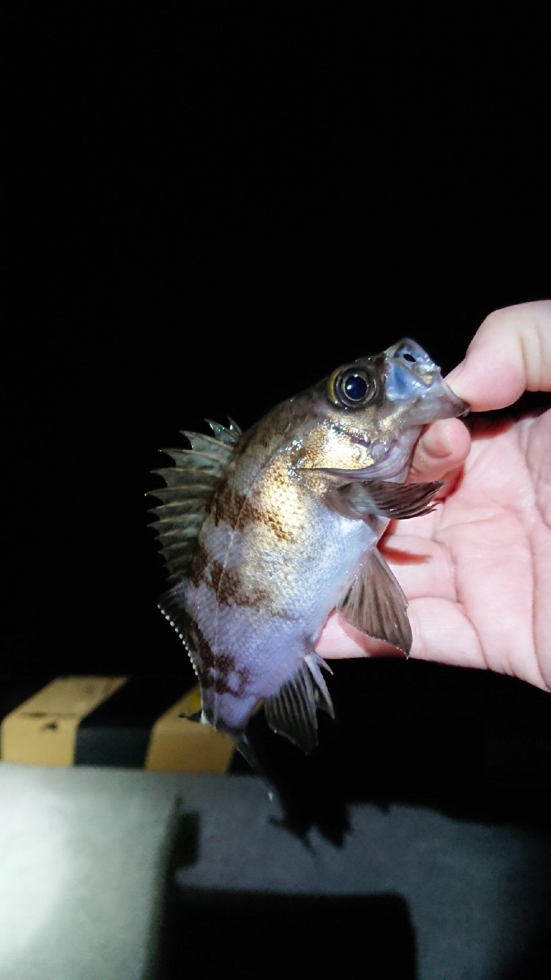 ふっきさんの投稿画像,写っている魚はメバル