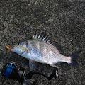 リッシーさんの徳島県での釣果写真