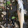 健斗さんの鹿児島県薩摩郡での釣果写真