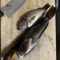 つりぴょんさんの秋田県秋田市での釣果写真