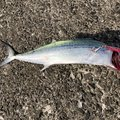 fumaさんの鹿児島県南さつま市での釣果写真