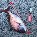 アオリイカオ🦑さんの石川県七尾市での釣果写真