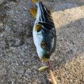BLACKさんの長崎県長崎市での釣果写真