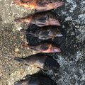 釣りナオキさんの和歌山県和歌山市での釣果写真
