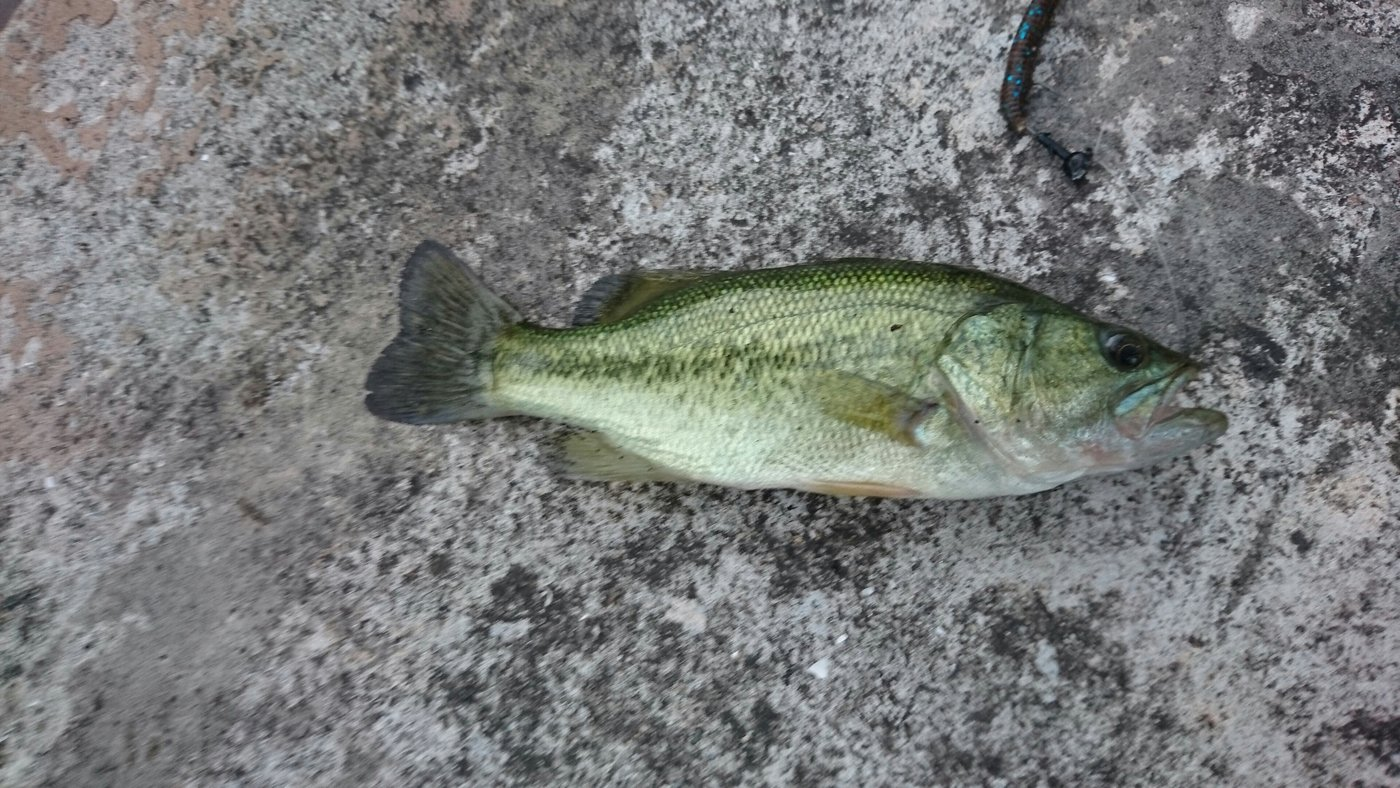 平林大記さんの投稿画像,写っている魚はブラックバス