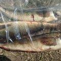 ユダヤさんの北海道亀田郡でのホッケの釣果写真