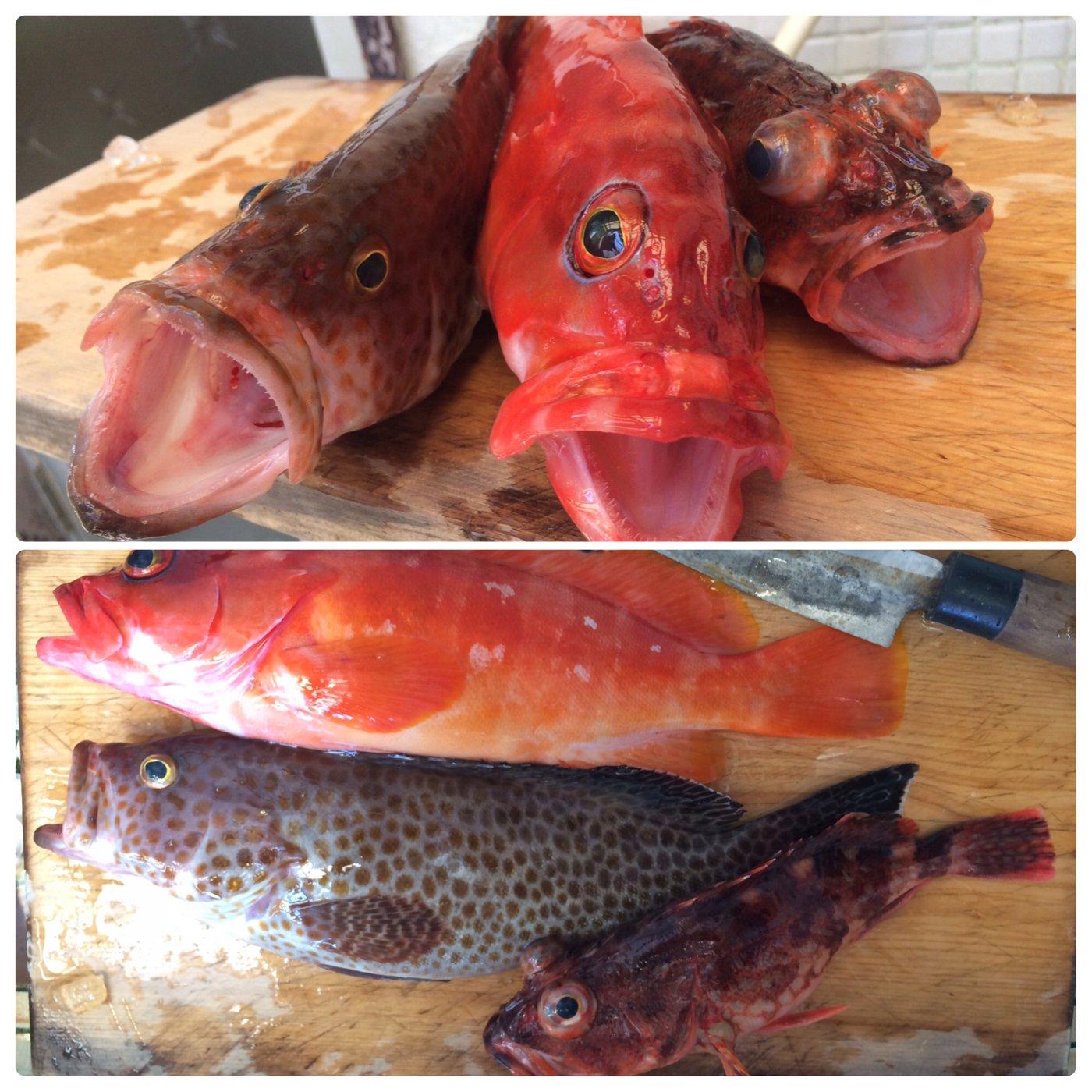 かわぽんさんの投稿画像,写っている魚はオオモンハタ,アカハタ,カサゴ