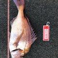 モコさんの青森県東津軽郡での釣果写真