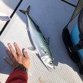 だいすけさんの静岡県静岡市でのマサバの釣果写真