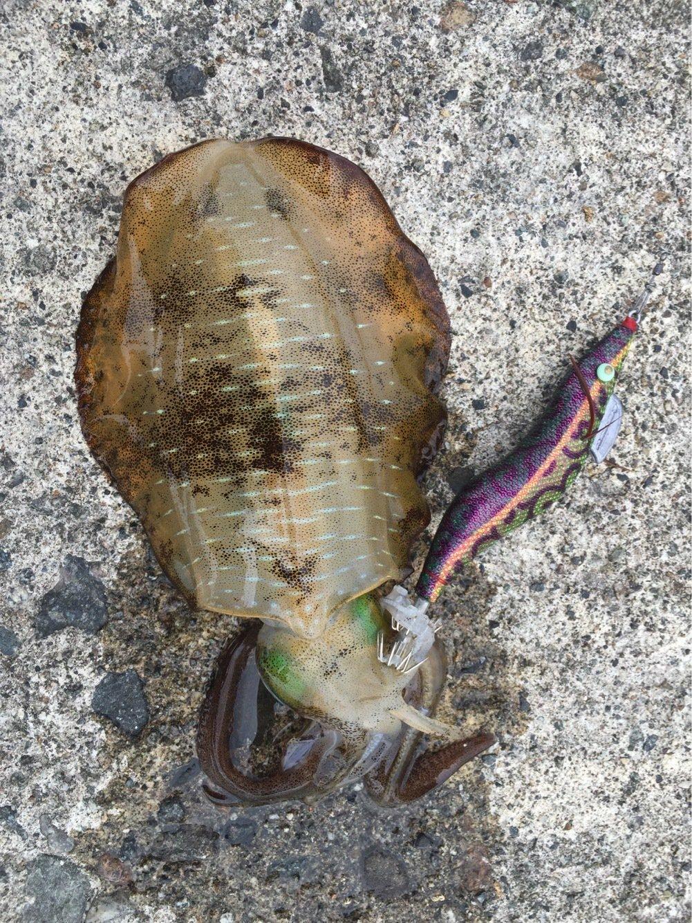 D助さんの投稿画像,写っている魚はアオリイカ