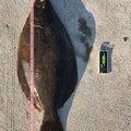 しゅうさんの宮城県でのヒラメの釣果写真