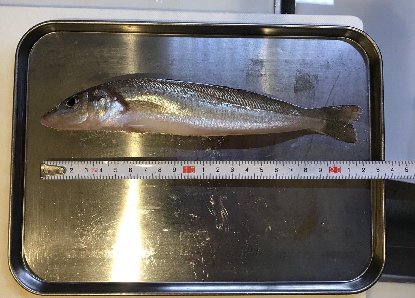 ひでさんの投稿画像,写っている魚はシロギス