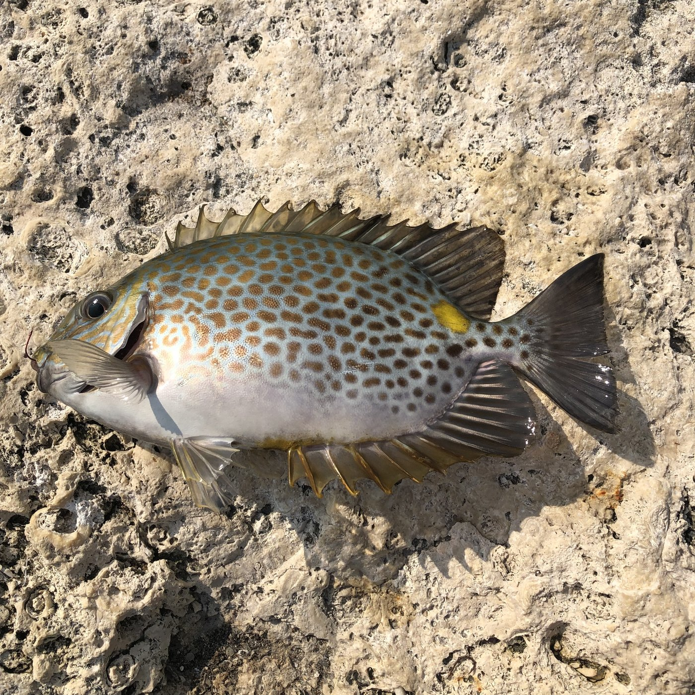 ムッシューむらむらさんの投稿画像,写っている魚はゴマアイゴ