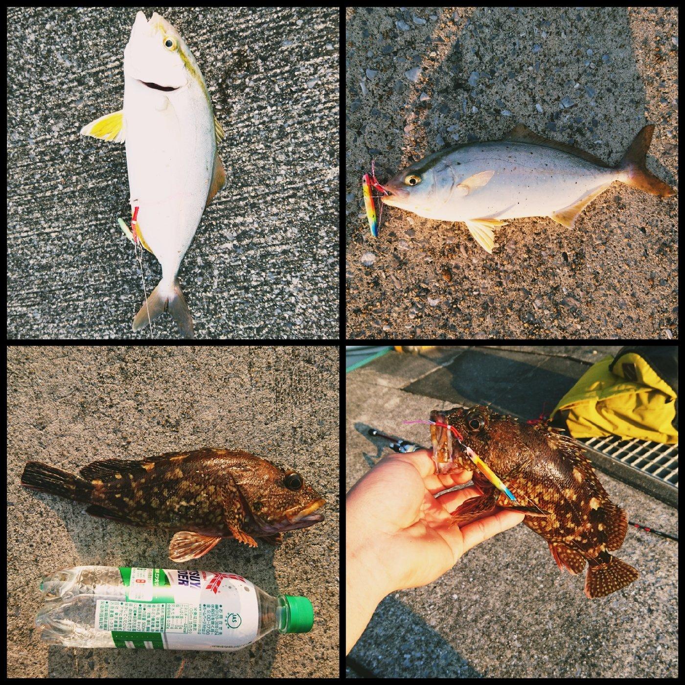 ソラさんの投稿画像,写っている魚はカサゴ