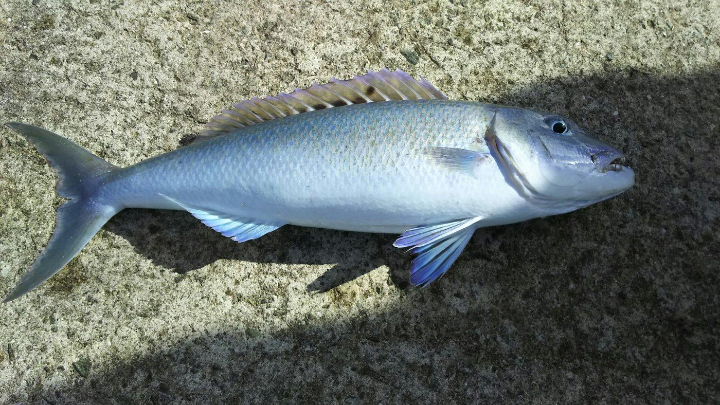 リュウマさんの投稿画像,写っている魚はアオチビキ