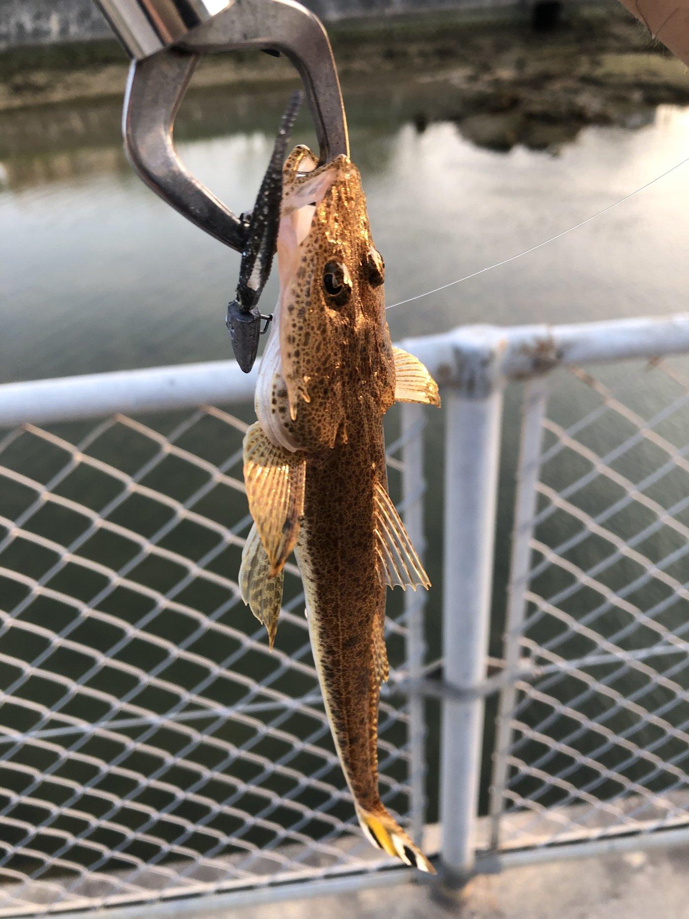 yoshiさんの投稿画像,写っている魚はコチ