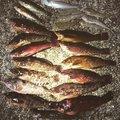 アナハゼくんさんの兵庫県明石市でのアイナメの釣果写真