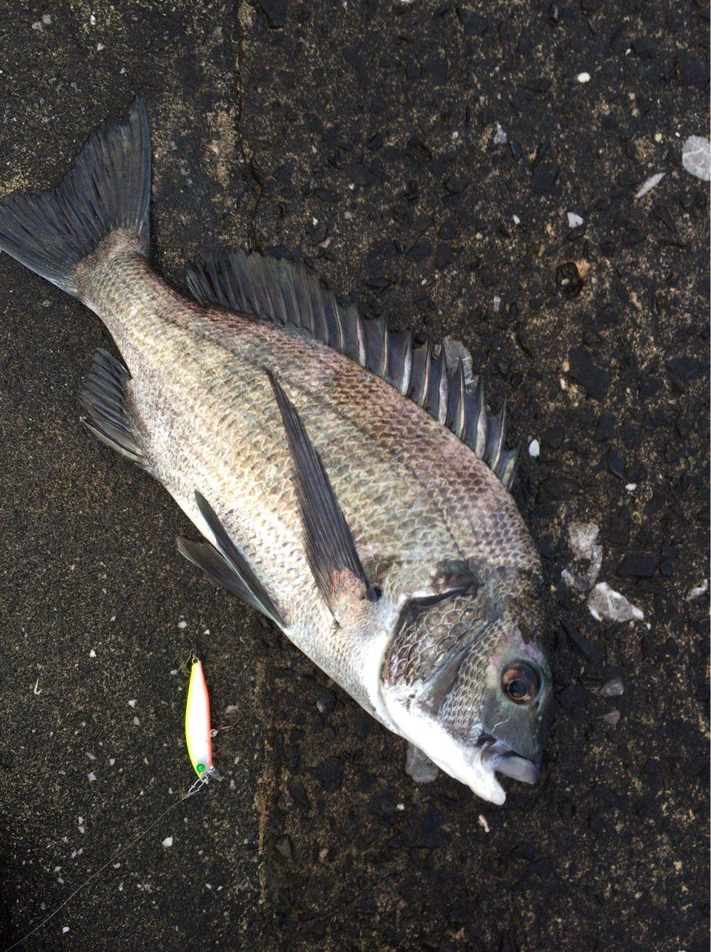 青日 千さんの投稿画像,写っている魚はクロダイ