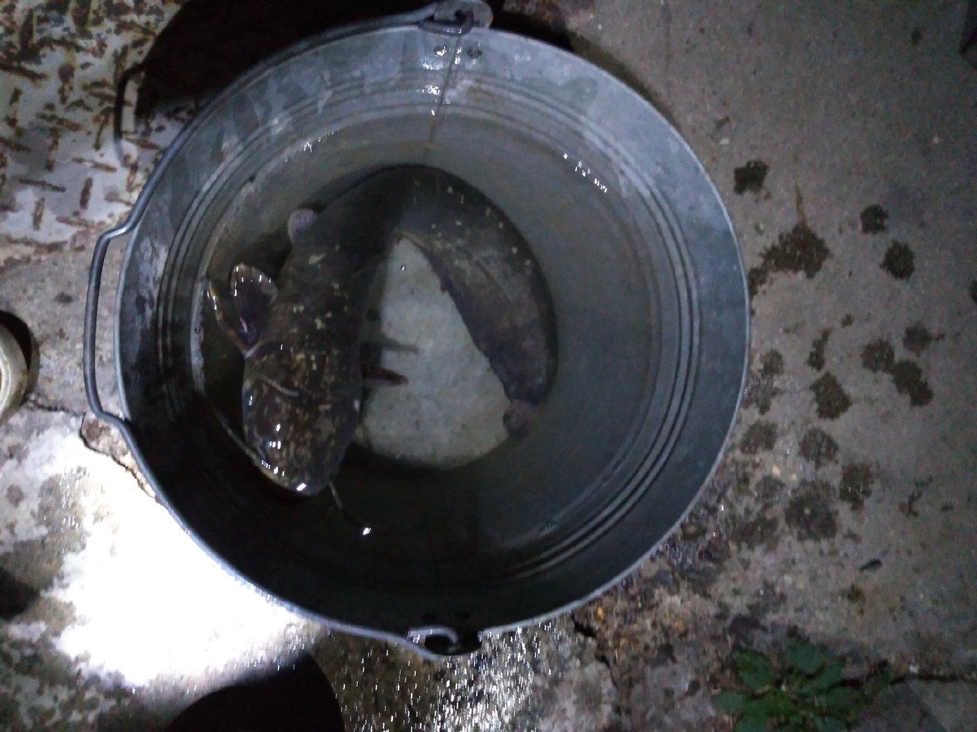 tabuさんの投稿画像,写っている魚はナマズ