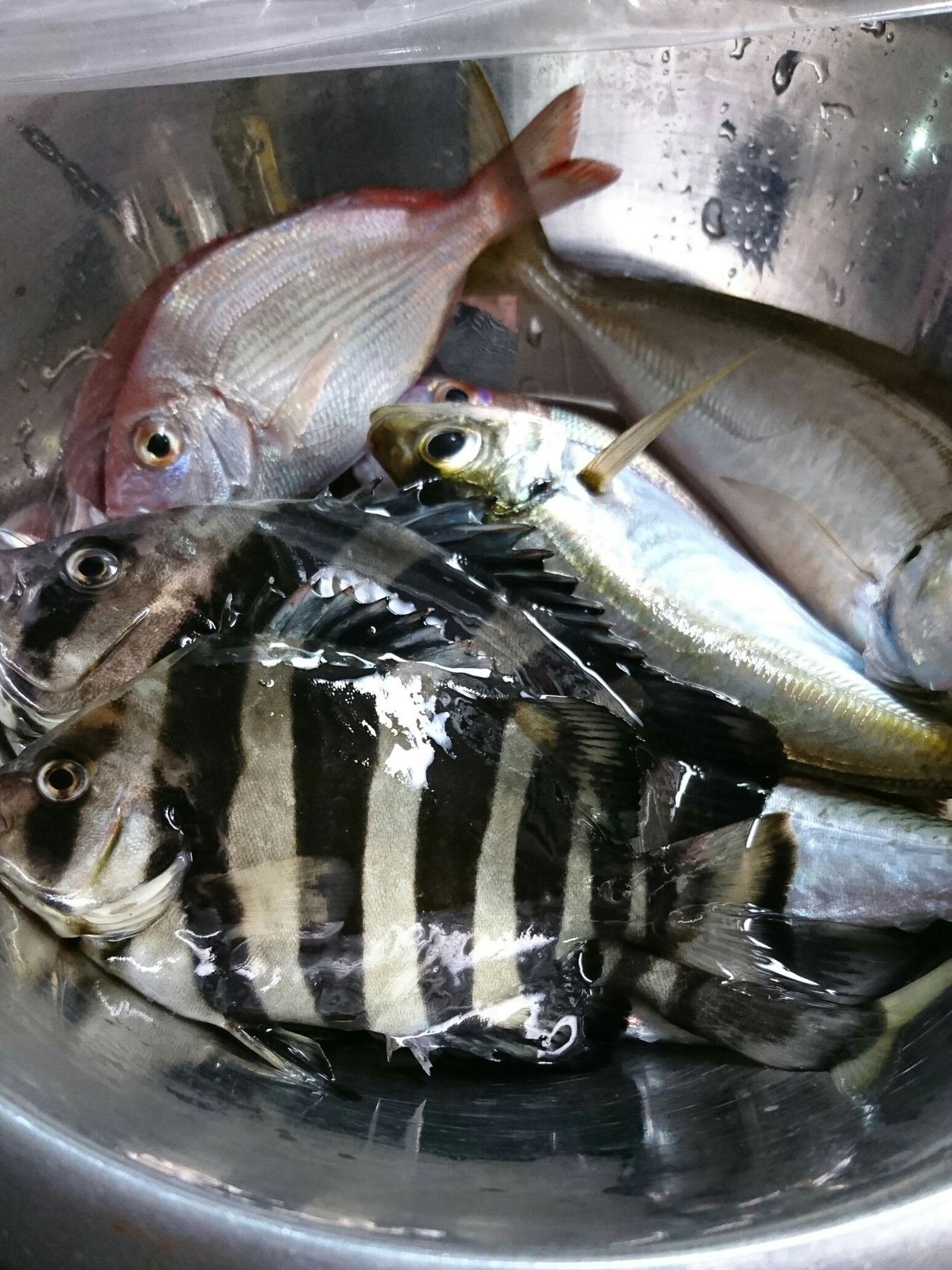 シゲキックスさんの投稿画像,写っている魚はイシダイ