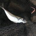 ぎーちゃんさんの兵庫県揖保郡での釣果写真