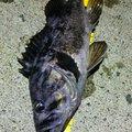 磯BOSE魂さんの北海道でのクロソイの釣果写真