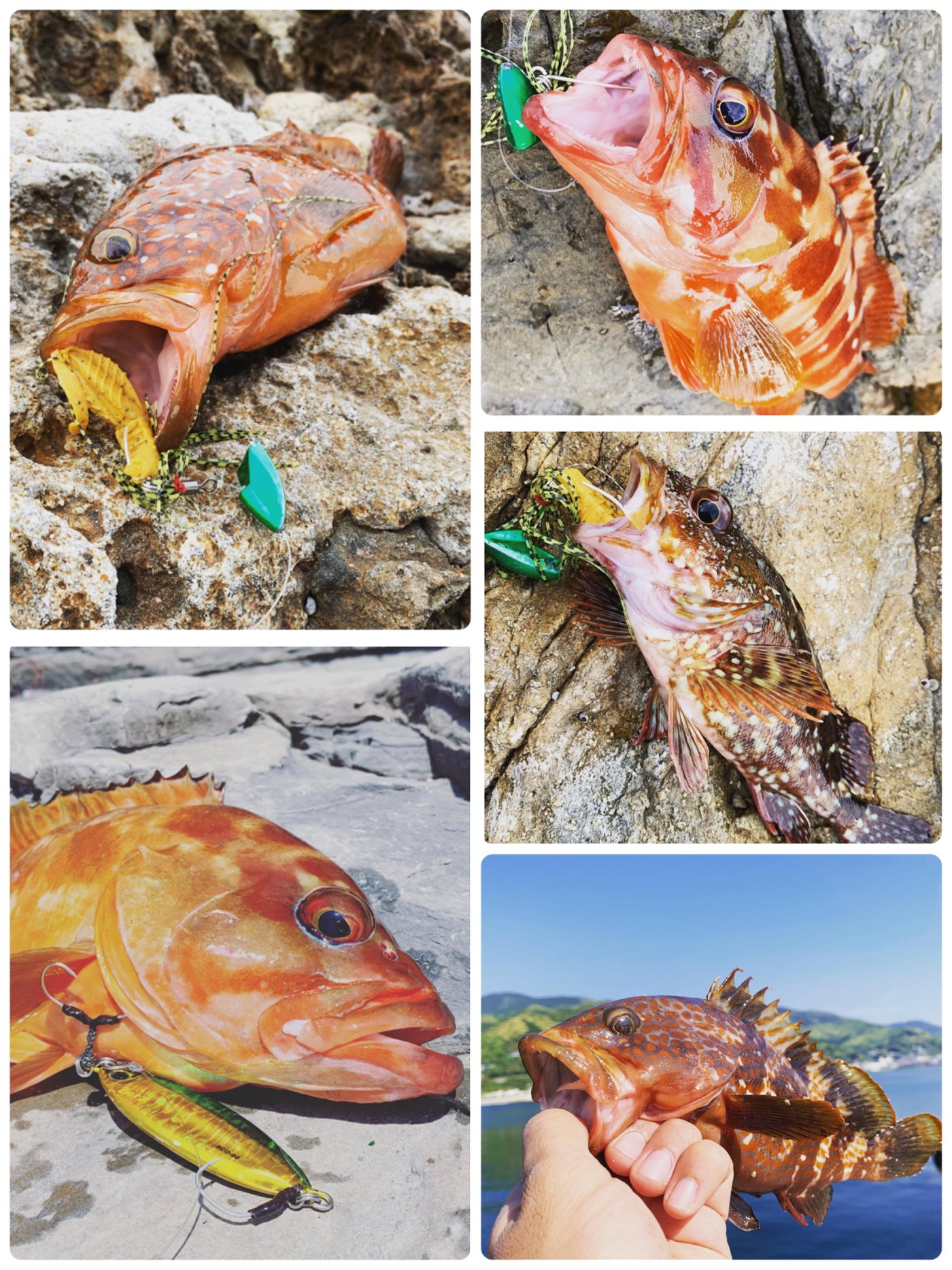 ひょーどるさんの投稿画像,写っている魚はアカハタ,キジハタ,カサゴ