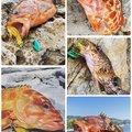 ひょーどるさんの長崎県対馬市でのアカハタの釣果写真