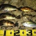 ブラックさんの石川県輪島市での釣果写真