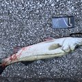 サザビーさんの大阪府貝塚市での釣果写真