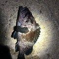 k.yotsuyakuさんの岩手県でのキツネメバルの釣果写真