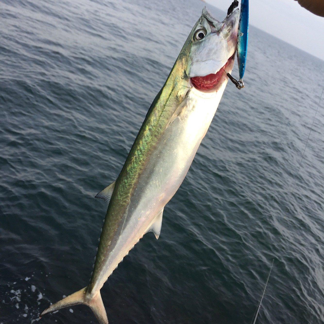 シュウさんの投稿画像,写っている魚はサワラ