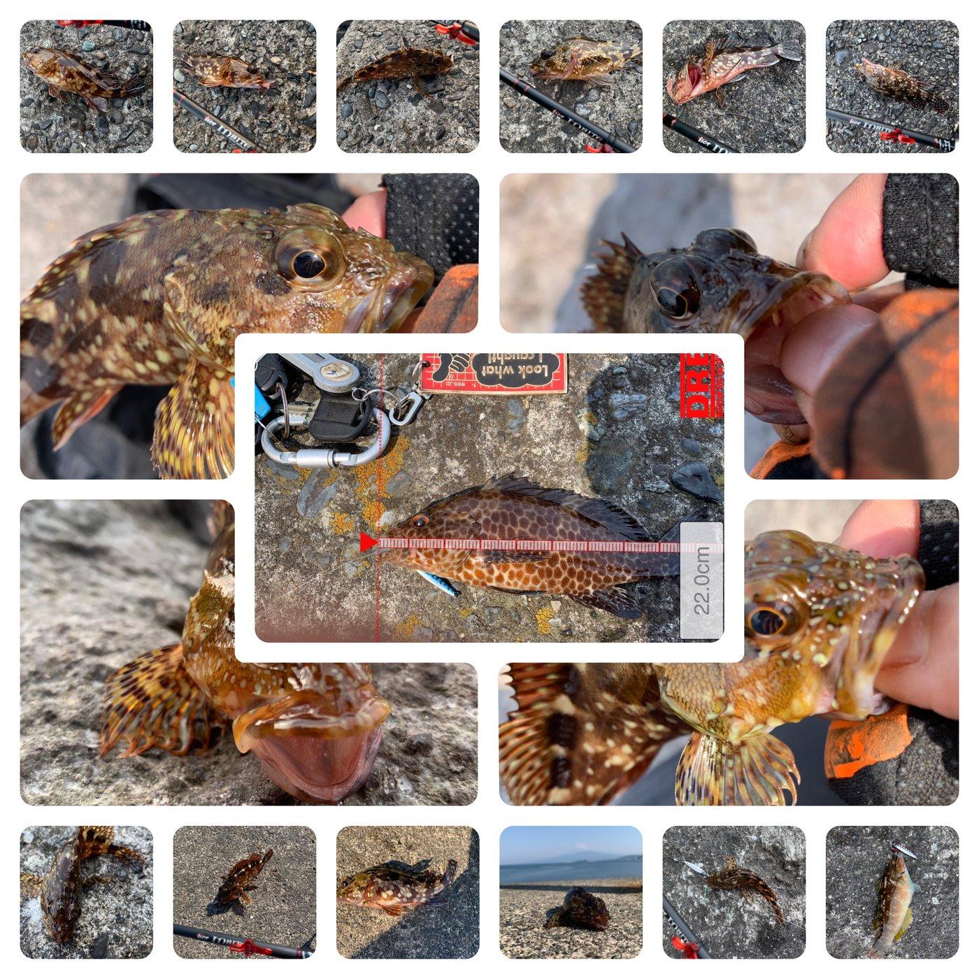 磯ROCK魂 直也さんの投稿画像,写っている魚はオオモンハタ,カサゴ,キュウセン