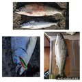 Yoshitakaさんの北海道檜山郡での釣果写真