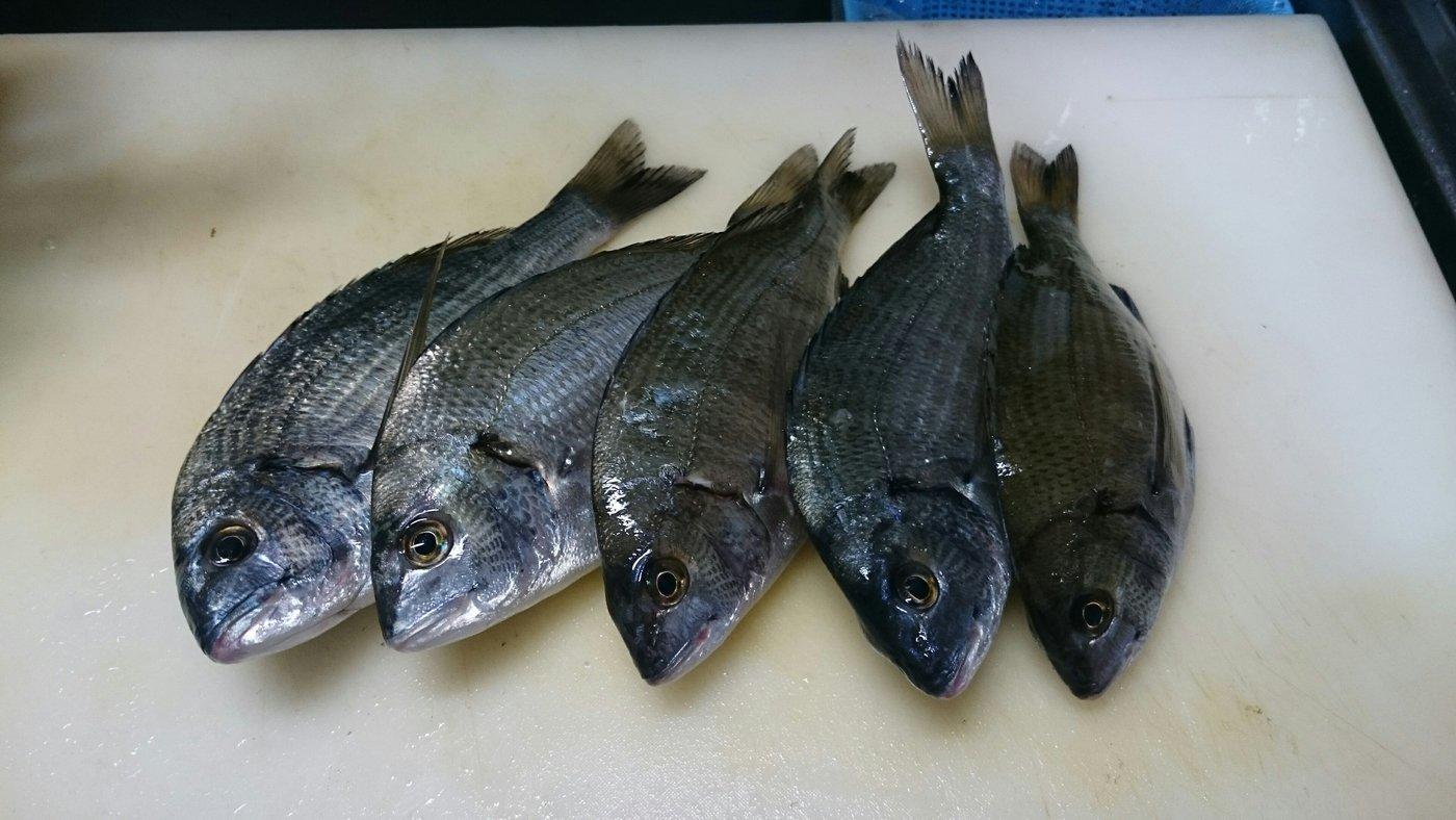 katsuさんの投稿画像,写っている魚はクロダイ