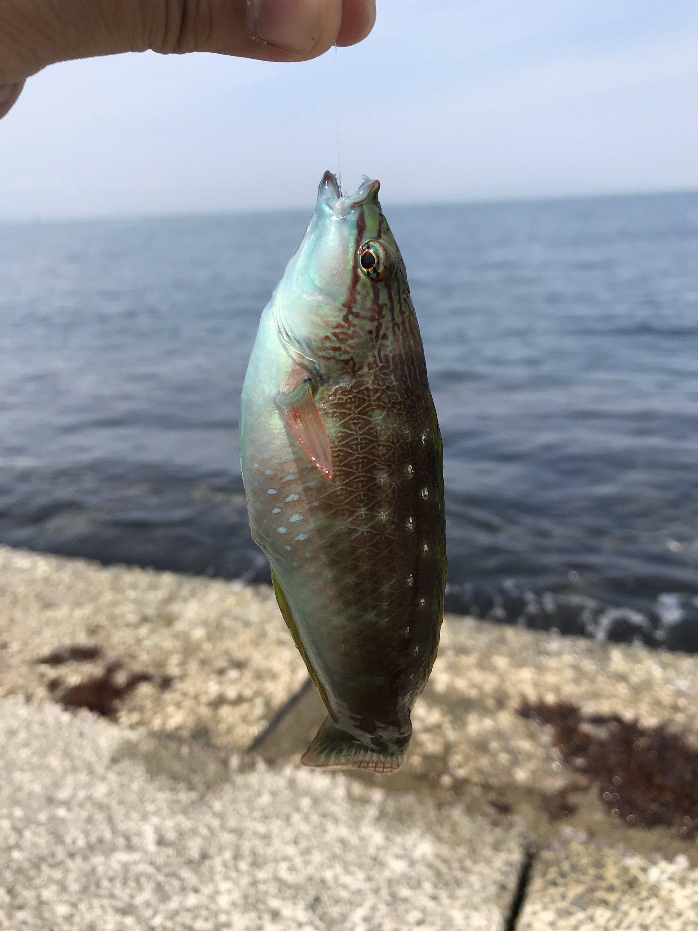 chirocubさんの投稿画像,写っている魚はキュウセン,