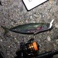 風来のモンドさんのマサバの釣果写真