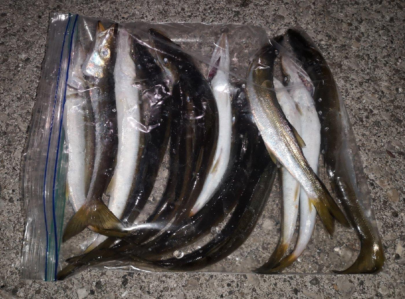 tomoさんの投稿画像,写っている魚はカマス