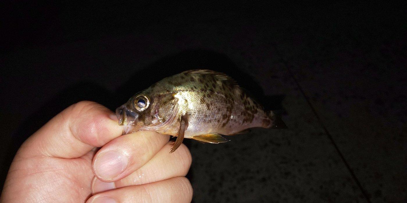 小物ルーキさんの投稿画像,写っている魚はメバル