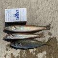 Gグレさんの茨城県那珂郡での釣果写真