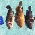 ひでさんの鳥取県での釣果写真