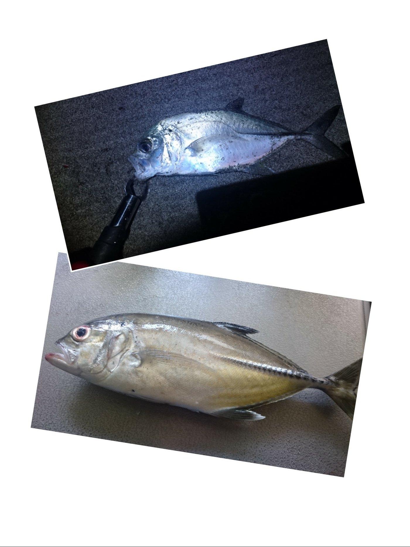 シナンジュさんの投稿画像,写っている魚はギンガメアジ