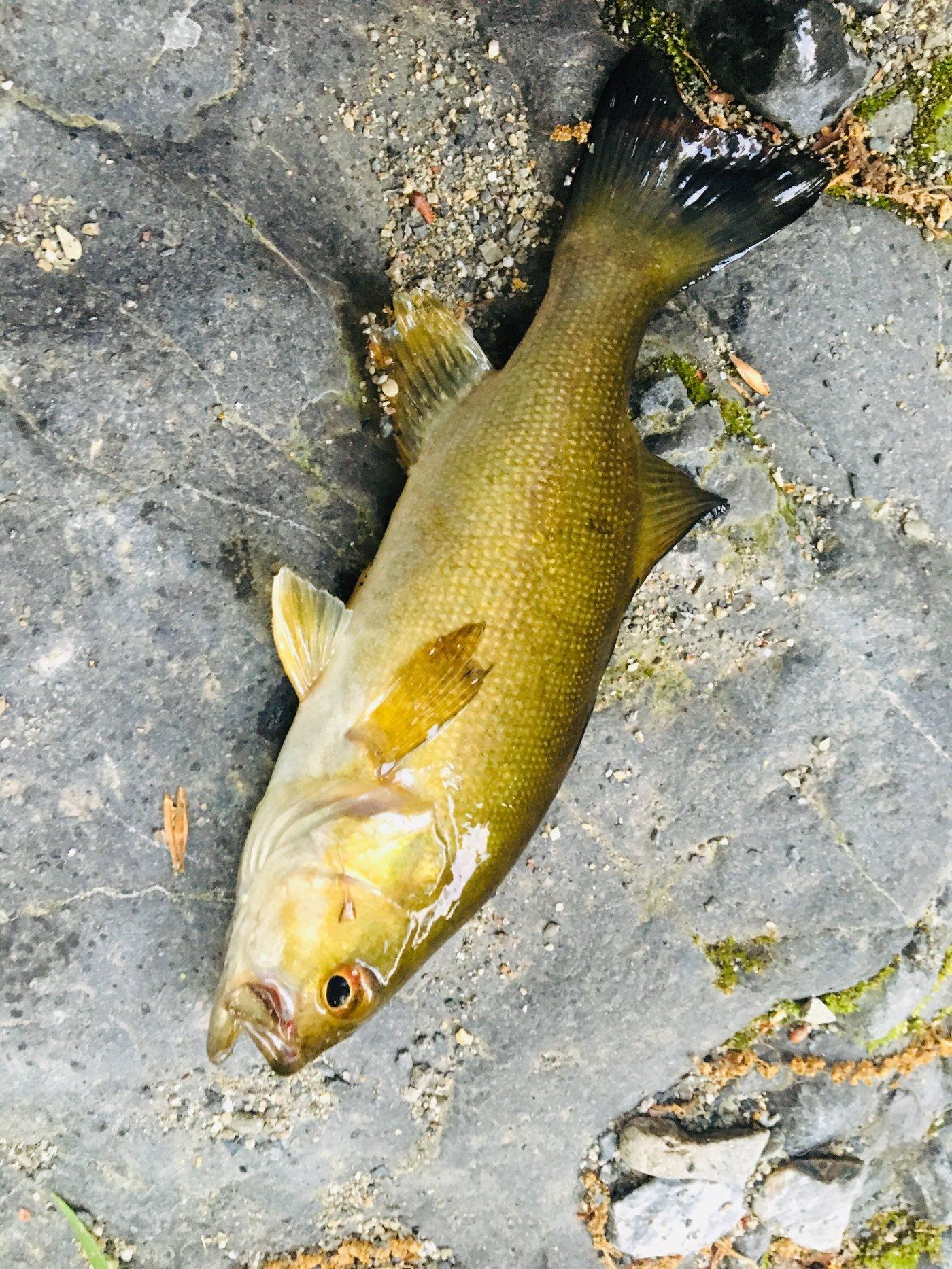 akさんの投稿画像,写っている魚はスモールマウスバス